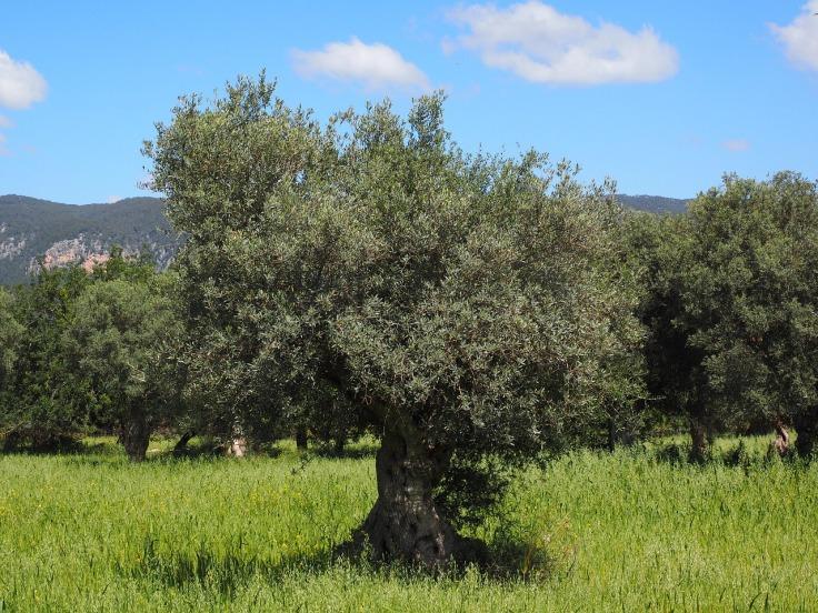 olive-tree-IMG_0966