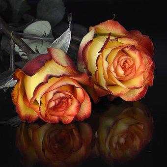 rose-3063282__340