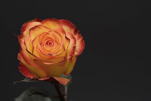 rose-3063283__340