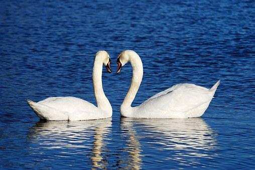 swans-1299971__340